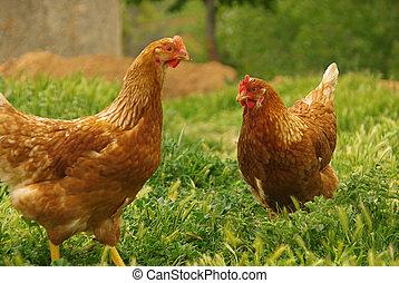 galinha, 07