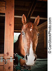Brown horse - A portrait of a brown horse in a barn