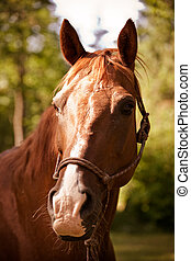 Brown horse - A portrait of a brown horse outside