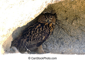 Owl or Grand Duke ornithological park of...