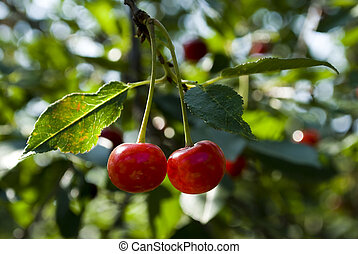 Cherry-family