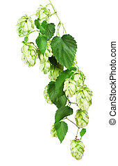 Fresh Hop isolated on the white background. Clipping Path