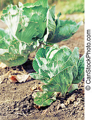 Cabbage growing in the field