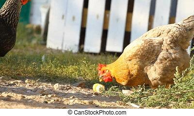 Chickens peck a corn in a village