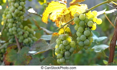 Bunch of green grapes in the vineyard