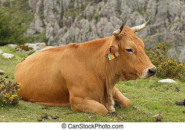 vaca descansando - vaca acostada descansando en lo alto de...