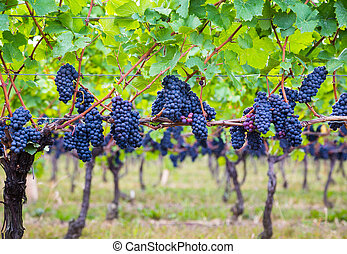 Dark blue Vineyard Grapes on trees