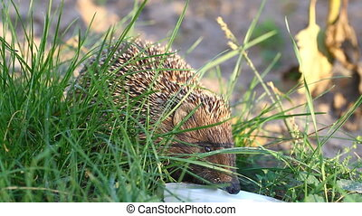 Hedgehog drinks milk in a green grass