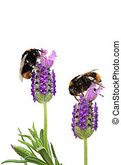 Busy Bumble Bees - Lavender herb flowers with two bumble...