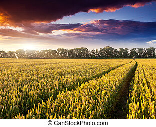 wheat - Fantastic wheat field at the sunset. Colorful...