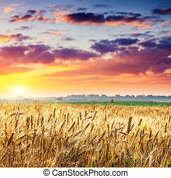 wheat - Fantastic wheat field at the sunset Colorful...