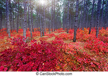 autumn - Fantastic forest with Cotinus coggygria. Autumn...