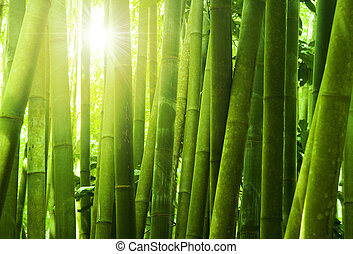Bamboo forest - Asian Bamboo forest with morning sunlight