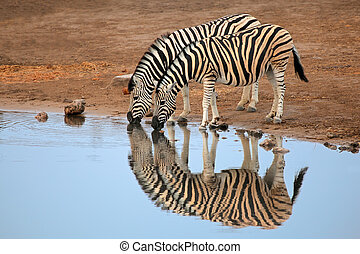 Plains Zebras drinking water - Two plains Burchells Zebras...