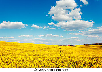 field - Yellow rapes flowers and blue sky with clouds....