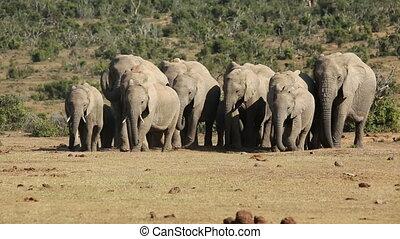 African elephant herd - Small herd of African elephants...