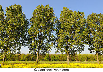 Trees and coleseed - A row of trees and cole seed in...