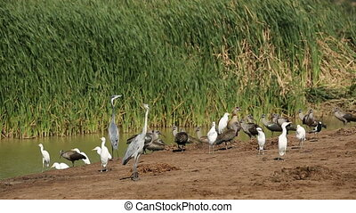 Waterbirds at pond - A variety of waterbirds gathered at a...
