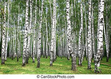 Birches in autumn sunny day - birch; fall; autumn;...