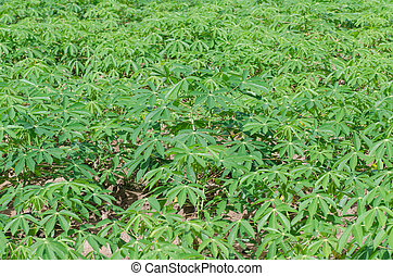 Cassava farm in thailand