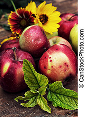 freshly harvested crop rustic apple