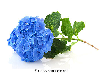 Blue Hydrangea - Blue French Hydrangea with leaves isolated...