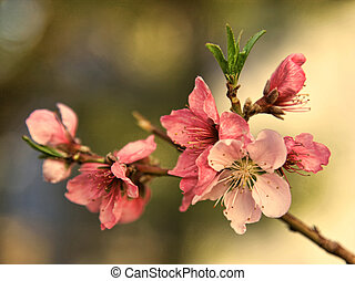 Peach Blossoms - Beautiful peach blossoms showing different...