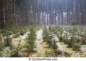 christmas trees in the forest - Young christmas trees in the...