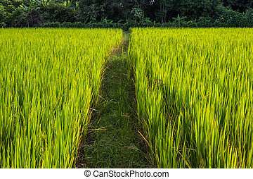 Asian landscape with ricefield.