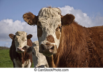 cow bull posing in a green field with blue sky