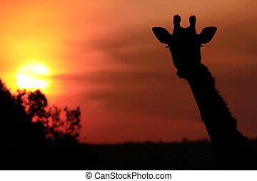 Masai Mara Giraffe - Giraffe (Giraffa camelopardalis)...
