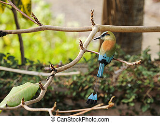Turquoise-browed Motmot - Turquoise-browed motmot, the...