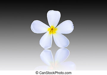 Plumeria flower isolated on black