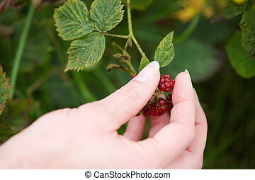 Hand picking red berry fruit from plant - Close up hand...