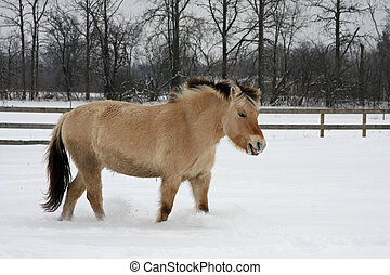 Norwegian Fjord Horse In Snow