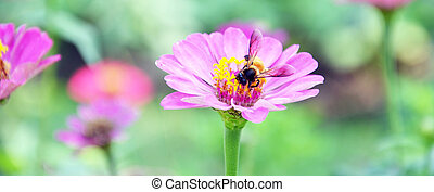 Bee keeping nectar from Cosmos Flower