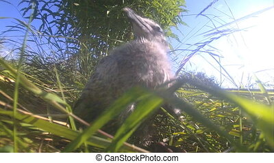 nestling of a bird seagull on full-screen and largely -...