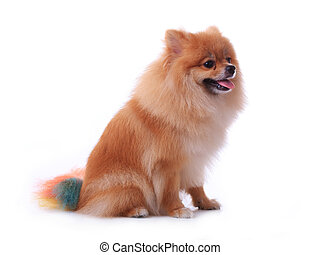 brown pomeranian dog isolated on white background, cute pet