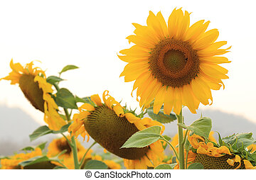 sunflower - beautiful sunflower blooming in garden