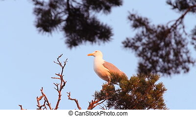 seagull big white on a branch. colony of birds. voices of birds