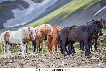 Side view of Icelandic horses group in Landmannalugar -...