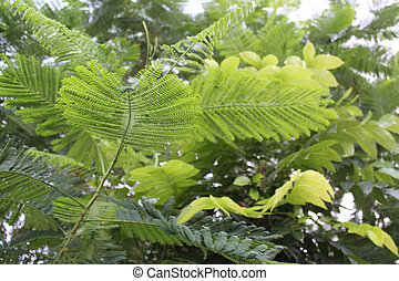 Dwarf Poinciana Caesalpinia pulche - leaves of Dwarf...