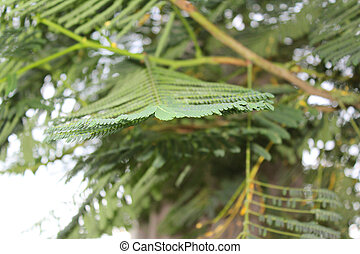 Dwarf Poinciana (Caesalpinia pulche - leaves of Dwarf...