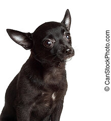 chihuahua dog - portrait of a cute chihuahua dog, white...