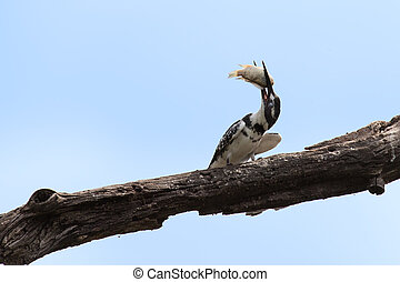 Pied kingfisher killing a fish by hitting it on branch -...