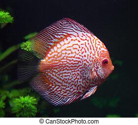 spotted red discus fish in aquarium