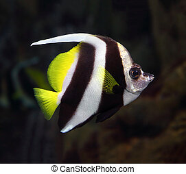 pennant coralfish underwater - beautiful pennant coralfish...
