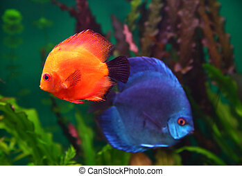 red and blue discus fish in aquarium