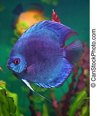 blue discus fish in aquarium