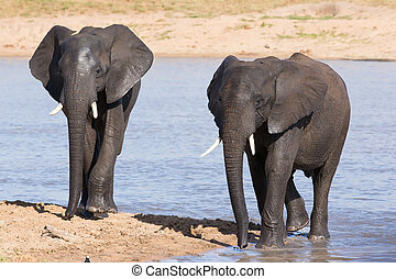 Elephant walking in water to have a drink and cool down on...